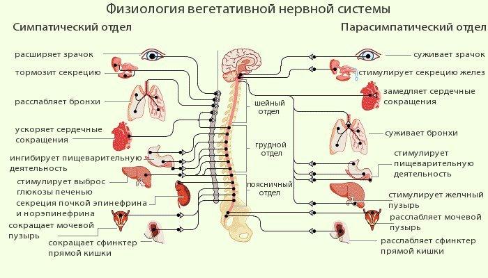 фізіологія нервової системи людини