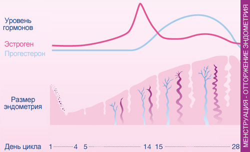Менструація - цикл гормонів