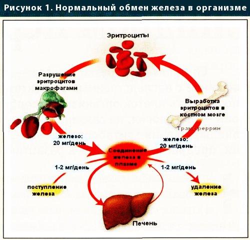 нормальний обмін заліза в організмі