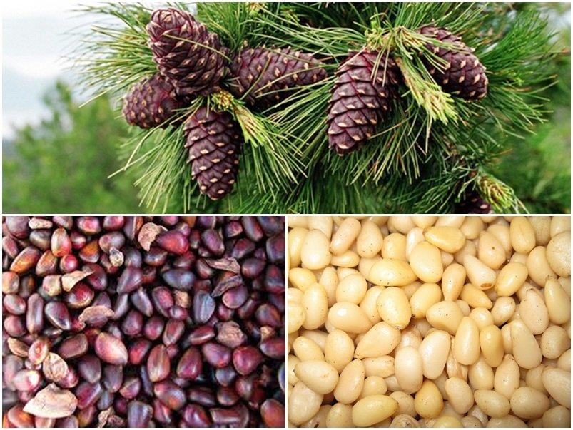 користь кедрових горіхів і кедрової настоянки