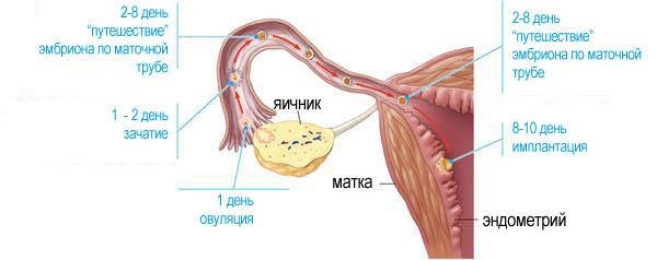 показник вагітності (EPF)