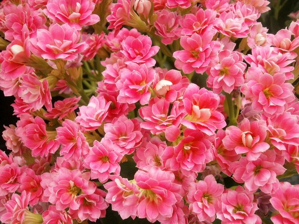 як розмножувати квітучий каланхое